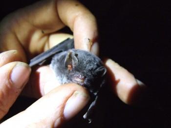 V Devínskej Novej Vsi sčítavali migrujúce netopiere